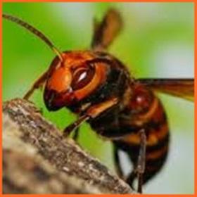 スズメバチ 駆除