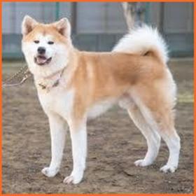 秋田犬 性格
